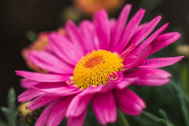 Besouro pequeno na flor violeta maravilhosa com centro amarelo