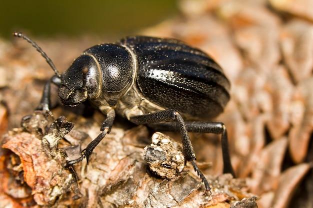 Besouro preto (pimelia costata)