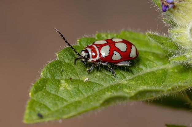 Besouro-pulga adulto da espécie omophoita argus