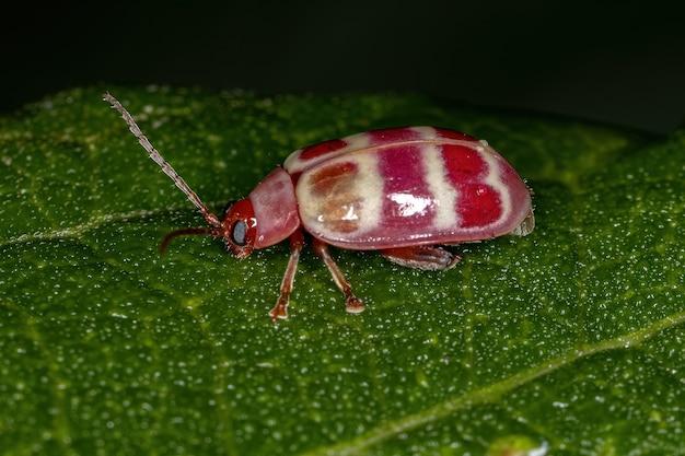 Besouro-pulga adulto da tribo alticini