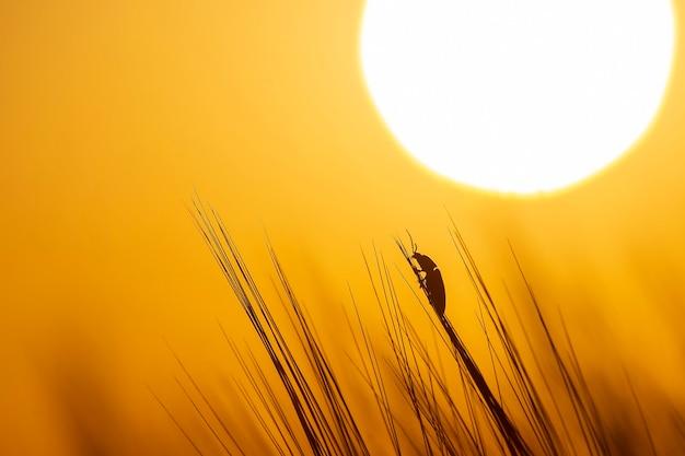 Besouro rasteja na grama tendo como pano de fundo o sol poente. botânica e zoologia da natureza
