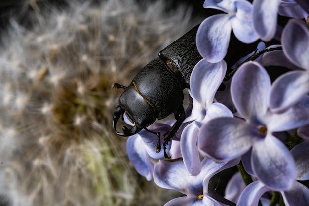 Besouro-veado fêmea em uma flor no início da primavera.
