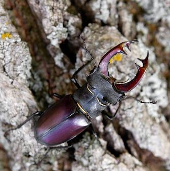 Besouro veado na casca de uma árvore