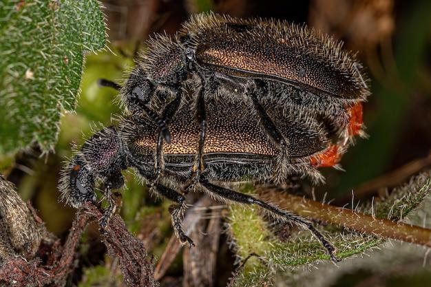 Besouros adultos de articulações longas da espécie lagria villosa acoplamento
