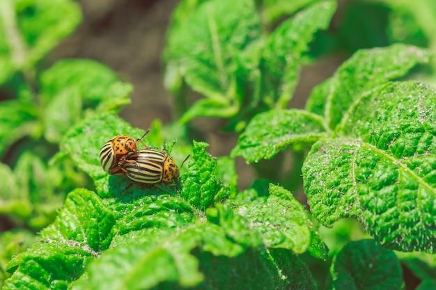 Besouros do colorado em folhas de batata