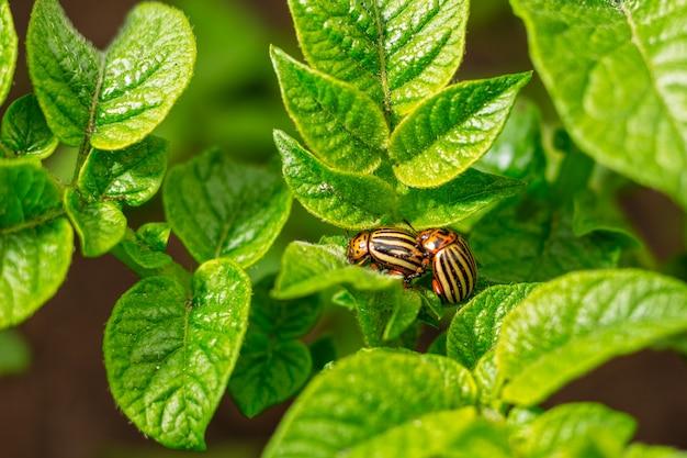Besouros do colorado são acasalados na folhagem de batatas