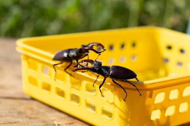 Besouros veados em seu ambiente natural