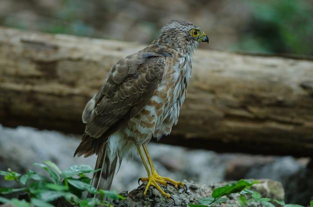 Besra sparrowhawk (accipiter virgatus fuscipectus)