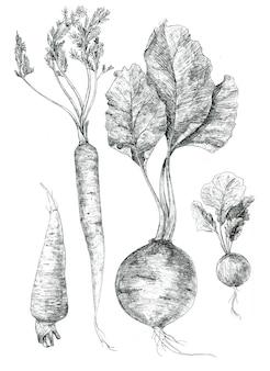 Beterraba, cenoura, rabanete, um conjunto de desenho à mão de vegetais. adequado para o design do menu do restaurante do café da cozinha