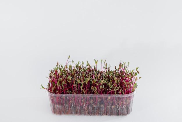 Beterraba micro-verde brota close-up em um branco em um vaso com solo
