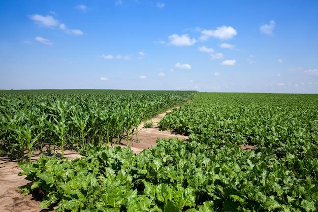 Beterraba verde para a produção de açúcar no campo agrícola, partes verdes da planta de beterraba sacarina no verão