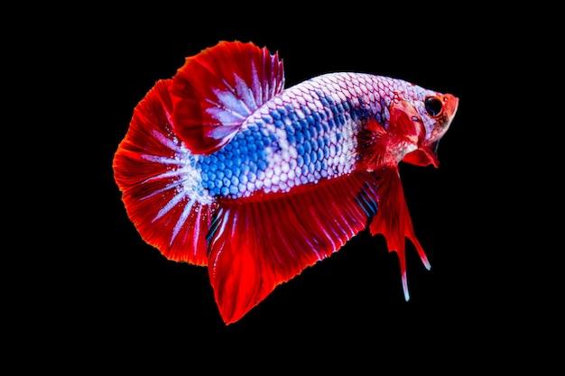 Betta colorido lutando peixe em fundo preto