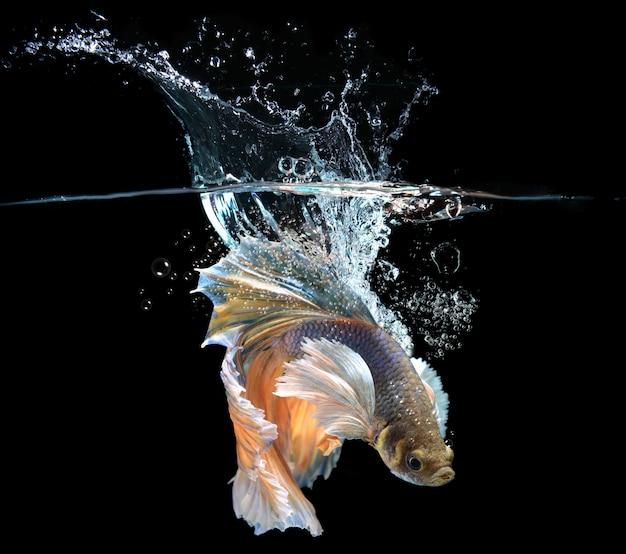 Betta de ação com respingos de água
