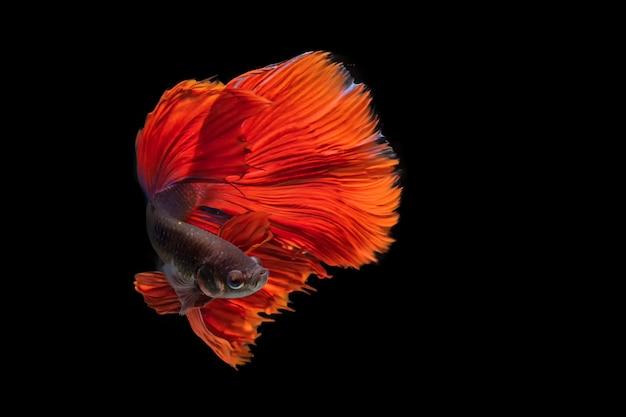 Betta luta de peixe em fundo preto