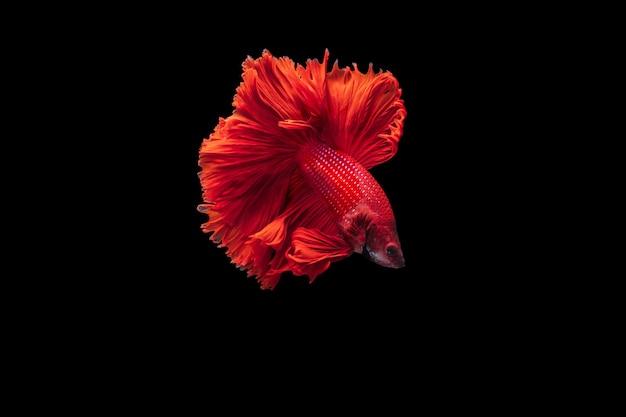 Betta vermelho peixe lutador em fundo preto, betta fancy koi halfmoon plakat