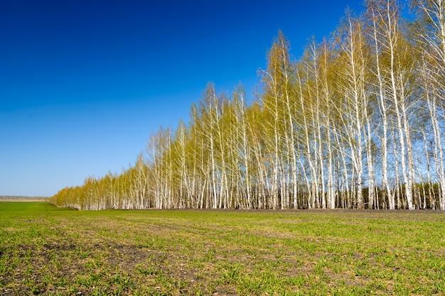 Bétulas de aterrissagem iguais. vidoeiros com folhas verdes jovens em um dia ensolarado de primavera. paisagem de primavera e céu azul.