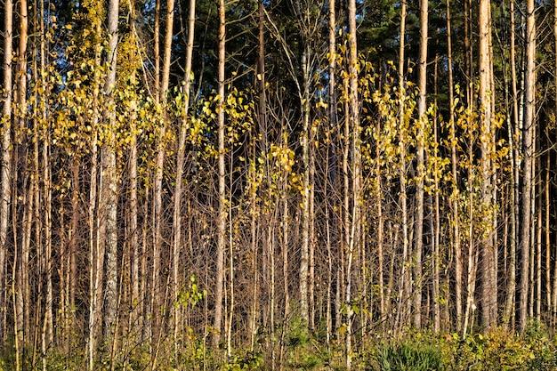 Bétulas douradas, natureza de outono