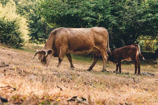Bezerro chupando uma vaca.
