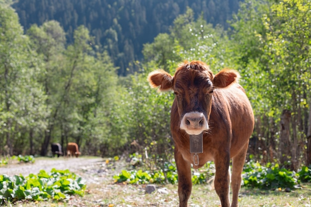 Bezerro com sino de vaca no pasto