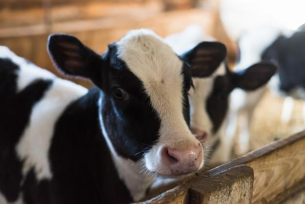 Bezerro na fazenda. dentro da fazenda há uma vaca fofa. muito feno