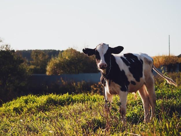 Bezerro pastando em um prado verde na aldeia no outono, close-up.