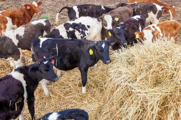 Bezerros comem feno na fazenda