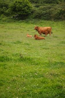 Bezerros marrons em um prado asturiano