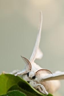 Bicho-da-seda branco com fundo desfocado