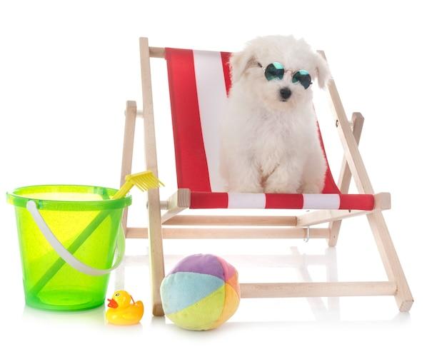 Bichon frise isolado na praia, conceito de férias de verão