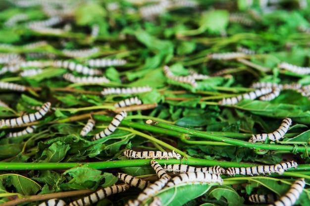 Bichos da seda que comem a folha da amoreira na bandeja.