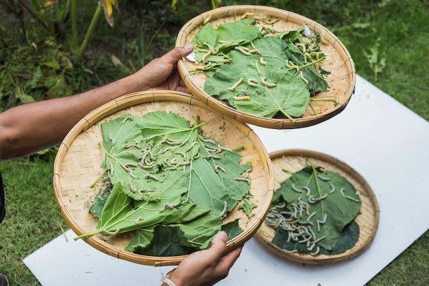 Bichos da seda que comem a folha da amoreira na cesta na madeira