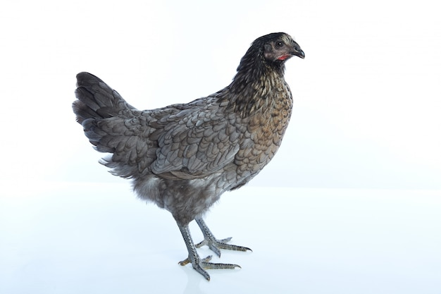 Bigblue delaware grande azul galinha biblue