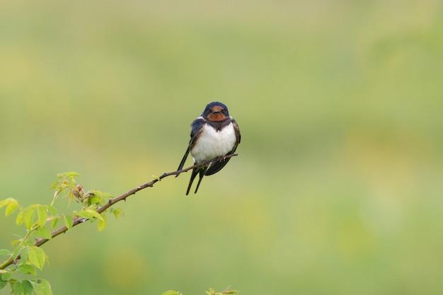 Bird barn swallow hirundo rustica em estado selvagem.