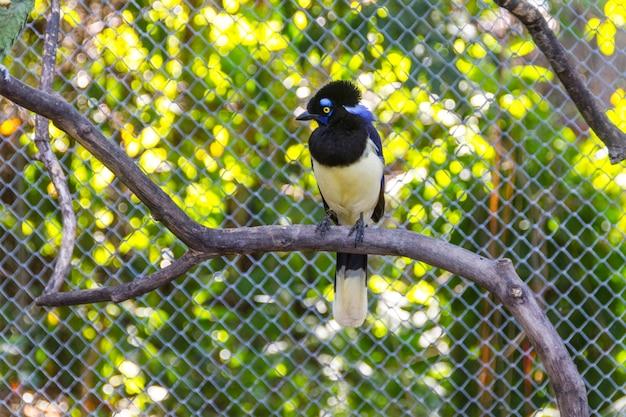 Bird cancan gralha (gralha cancan) em pé em um galho ao ar livre no rio de janeiro, brasil.