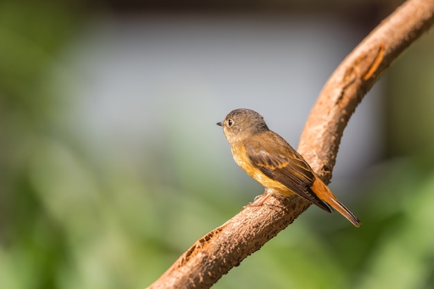 Bird (ferruginous flycatcher, muscicapa ferruginea) açúcar mascavo, laranja e vermelho