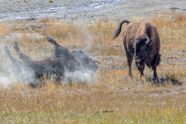 Bisão americano chafurdando no parque nacional de yellowstone