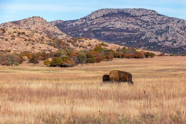 Bisão na cordilheira do refúgio de vida selvagem nas montanhas wichita, localizado no sudoeste de oklahoma