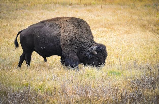 Bisão selvagem no parque nacional de yellowstone