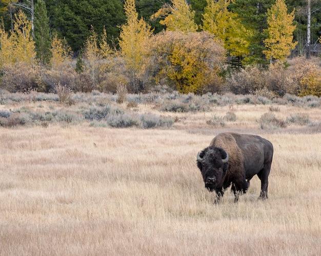 Bisonte americano no outono nos apartamentos sagebrush do parque nacional grand teton