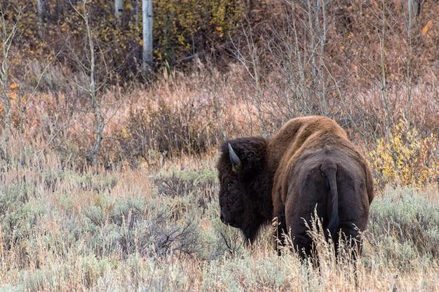 Bisonte americano nos apartamentos sagebrush do grand teton national park