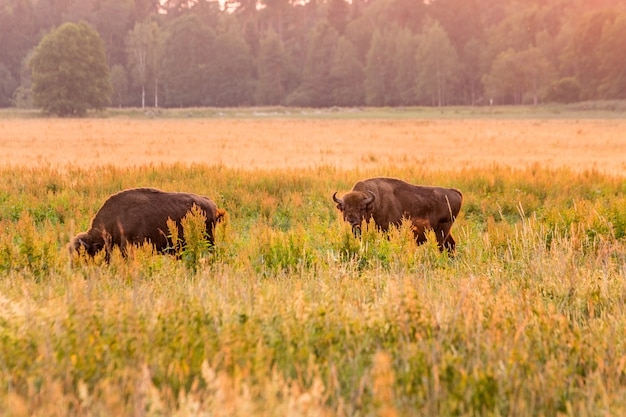 Bisonte europeu bielorrússia