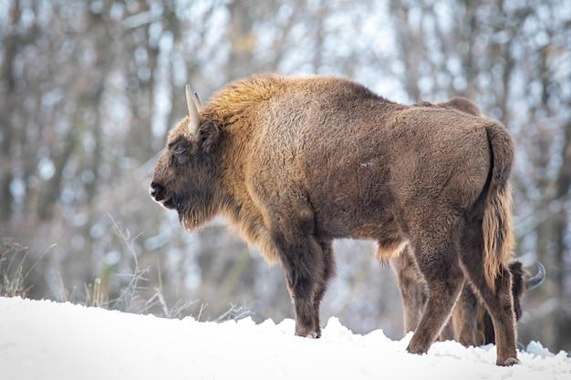 Bisonte europeu com pelo fofo parado na neve no inverno