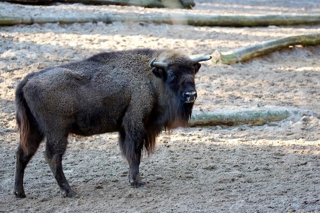 Bisonte europeu em uma clareira
