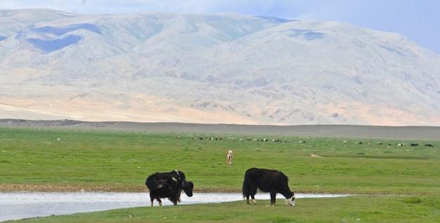 Bisontes na grama verdejante