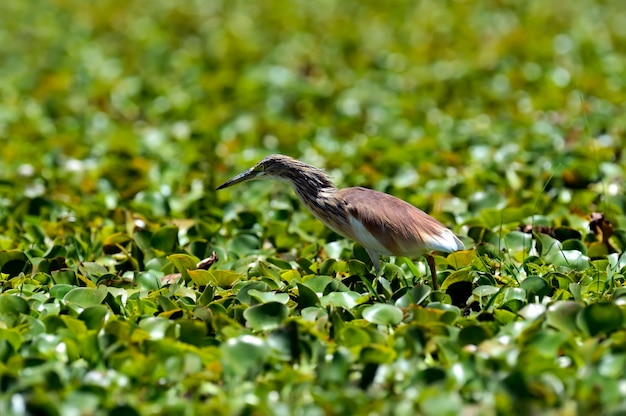 Bittern africano no lago naivasha em busca de presas