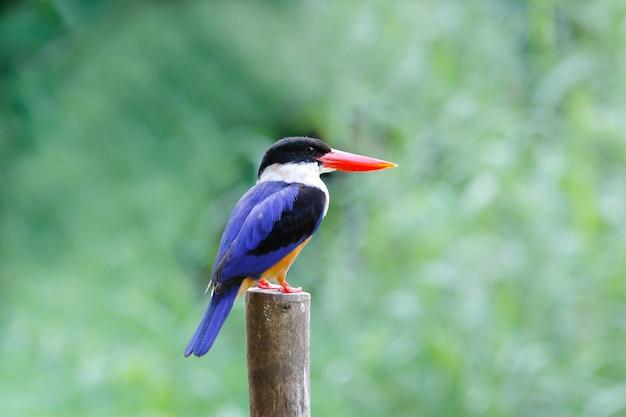 Black-capped kingfisher halcyon pileata belas aves da tailândia