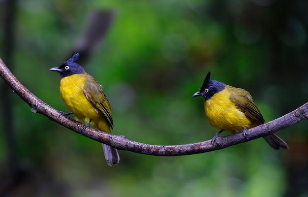 Black-com crista bulbul pycnonotus flaviventris belas aves da tailândia