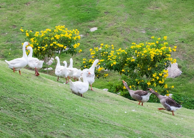 Black goose deport group luta de ganso branco