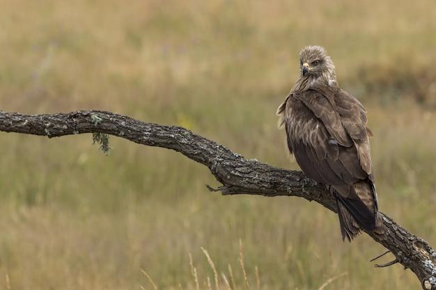 Black milano empoleirado em um galho de árvore em um fundo desfocado - milvus migrans