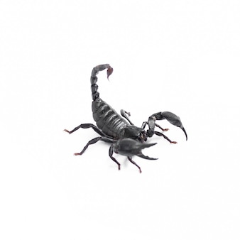 Black scorpion animais venenosos isolados no fundo branco